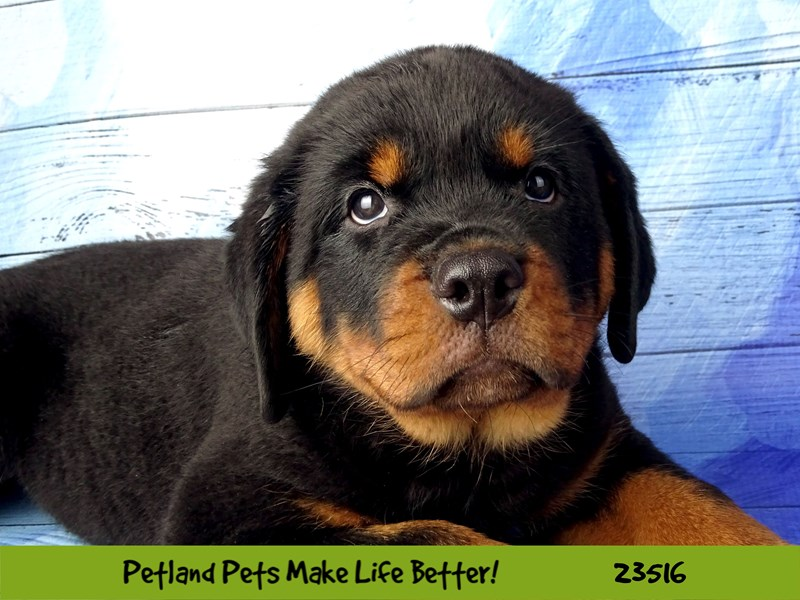 Rottweiler-DOG-Male-Black / Rust-2773552-Petland Naperville