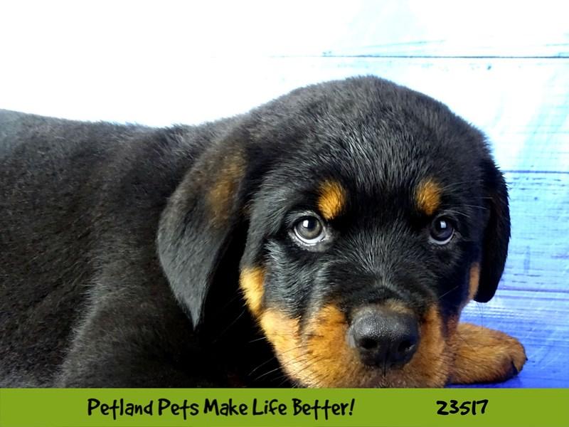 Rottweiler-Male-Black / Rust-2773551-Petland Naperville