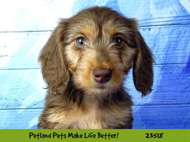 Dachshund-DOG-Female-Chocolate-2773559-Petland Naperville