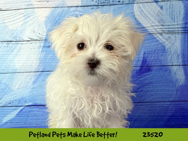 Maltese-Female-White-2773558-Petland Naperville