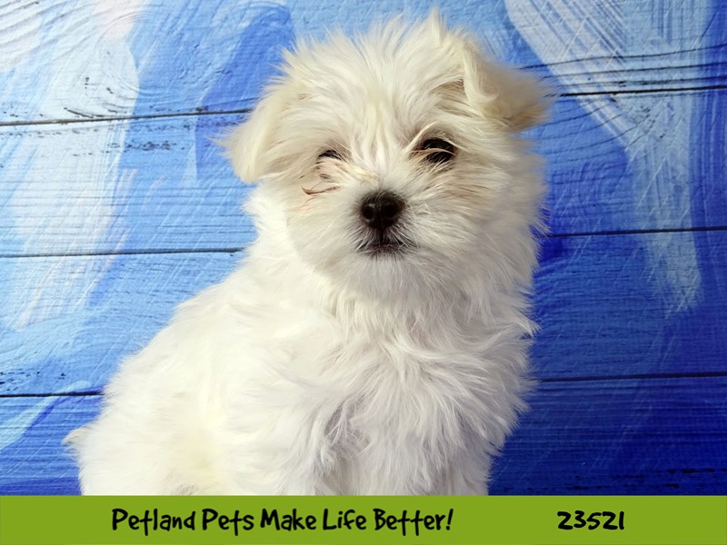 Maltese-Female-White-2773556-Petland Naperville