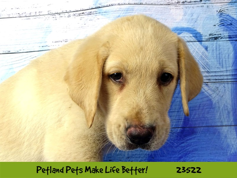 Labrador Retriever-Female-Yellow-2773553-Petland Naperville