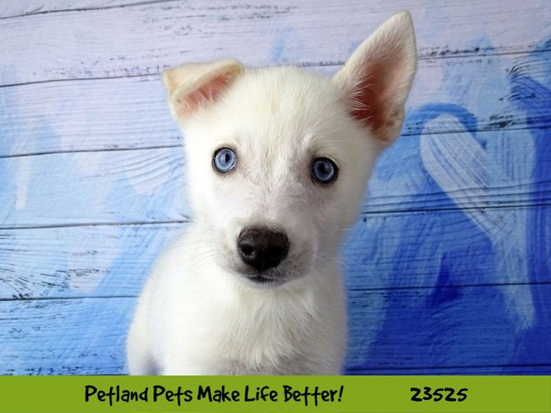 Pomsky 2nd Gen-Female-White-2773560-Petland Aurora