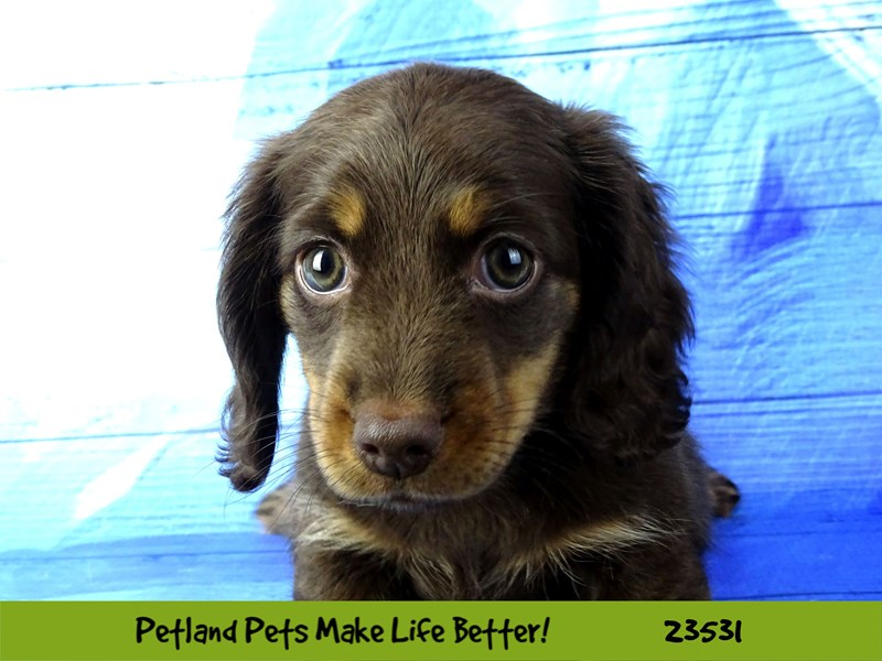 Dachshund-Female-Chocolate / Tan-2773856-Petland Naperville
