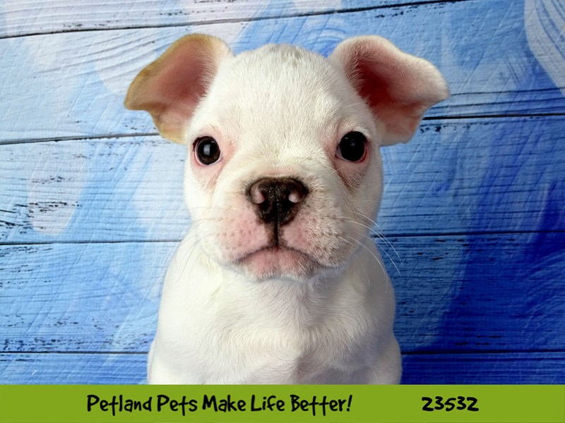 French Bulldog-Male-White / Cream-2773854-Petland Naperville