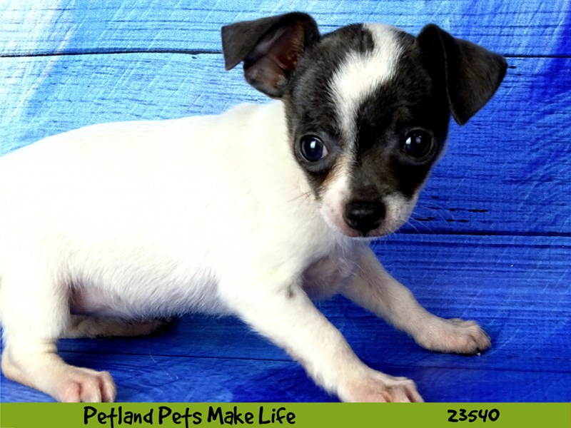Chihuahua-Female-Blue Fawn / White-2781519-Petland Naperville