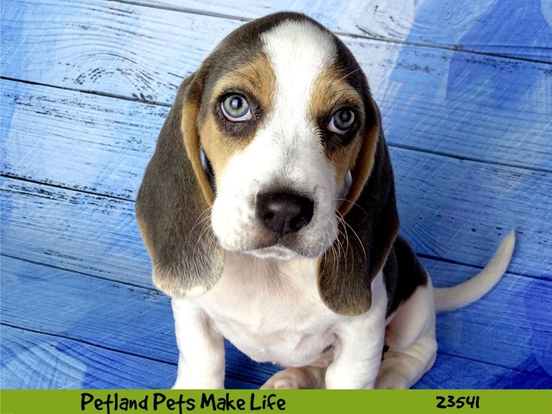 Beagle-DOG-Female-Blue White / Tan-2781516-Petland Aurora