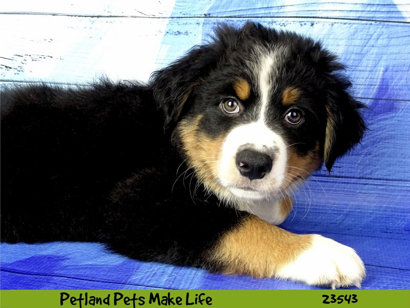 Bernese Mountain Dog/Blue Heeler-DOG-Male-Black Tan / White-2781633-Petland Naperville