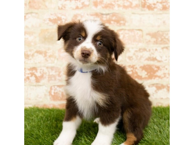 Miniature Australian Shepherd-DOG-Female-Red-2783472-Petland Aurora