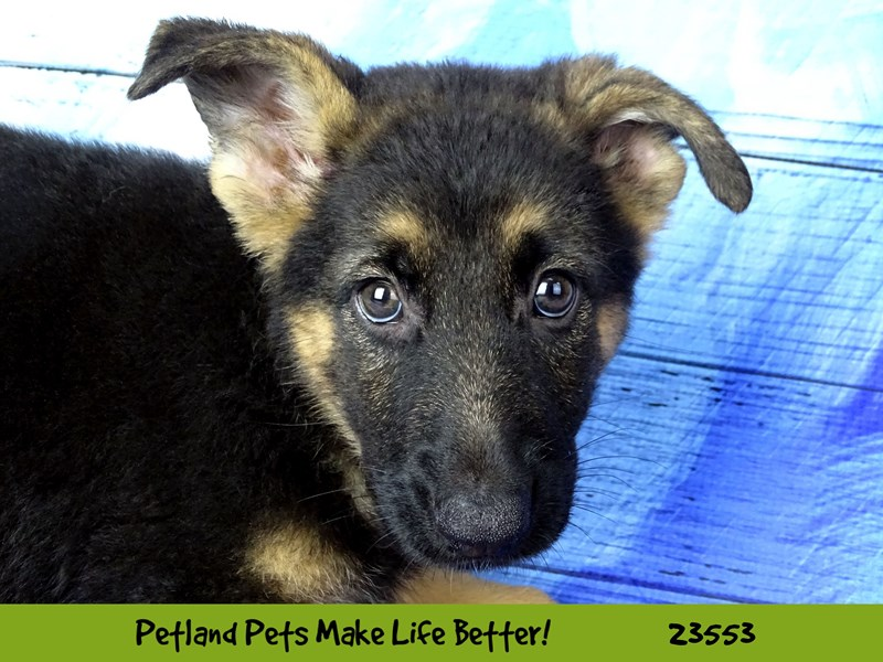 German Shepherd Dog-Male-Black / Tan-2788602-Petland Naperville