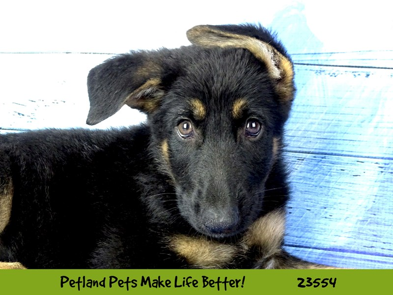 German Shepherd Dog-Male-Black / Tan-2788601-Petland Naperville