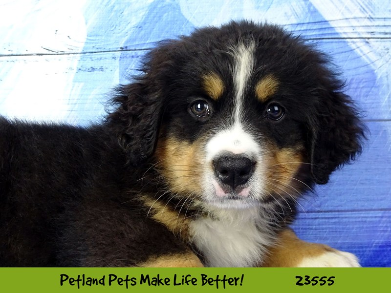 Bernese Mountain Dog-Male-Black Rust / White-2788606-Petland Naperville