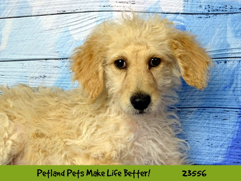 Mini Aussiedoodle-DOG-Male-Cream-2788767-Petland Naperville