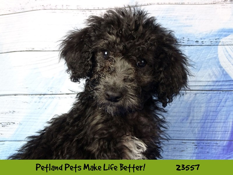 Mini Aussiedoodle-Female-Black-2788775-Petland Naperville
