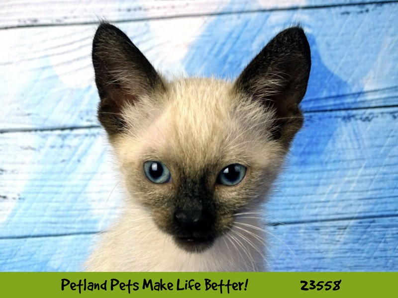Siamese-CAT-Male-Seal & Black-2788811-Petland Naperville