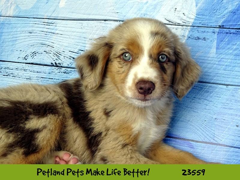 Australian Shepherd-DOG-Female-Red Merle-2788855-Petland Aurora