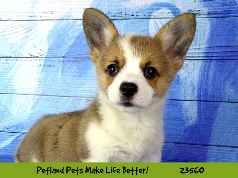 Pembroke Welsh Corgi-Female-Sable and White-2788963-Petland Naperville