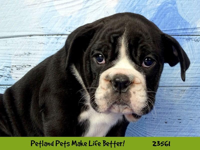 English Bulldog-Female-Black and White-2788967-Petland Naperville