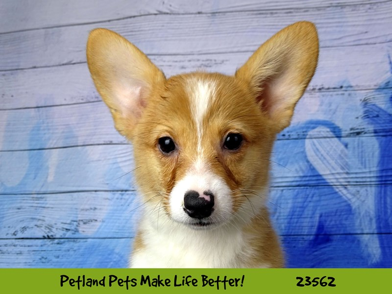 Pembroke Welsh Corgi-DOG-Male-Red and White-2788969-Petland Naperville