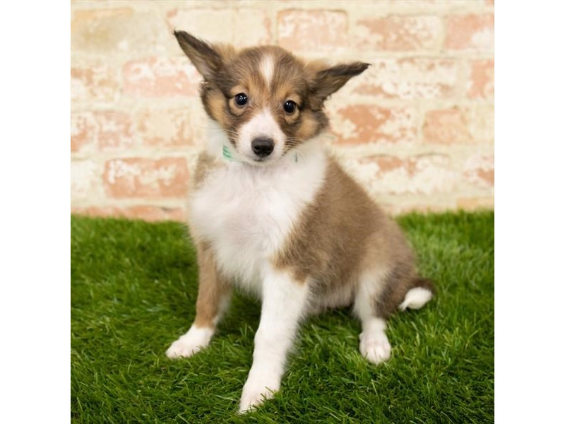Shetland Sheepdog-Female-Sable / White-2790567-Petland Naperville