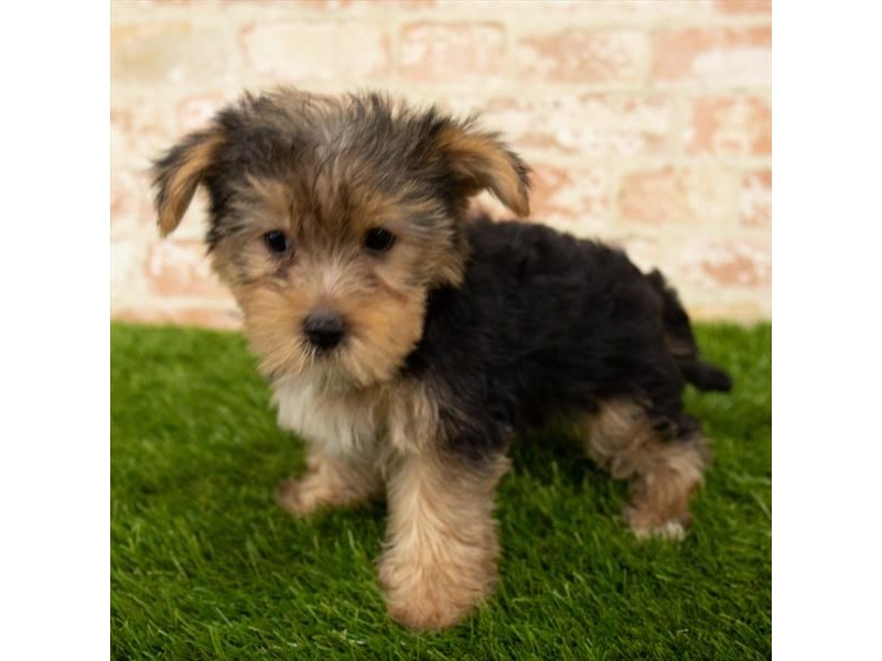 Morkie-Male-Black / Tan-2790569-Petland Naperville