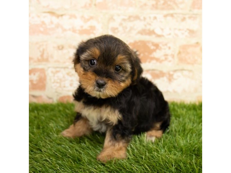 Yorkshire Terrier-DOG-Male-Black / Tan-2790572-Petland Naperville