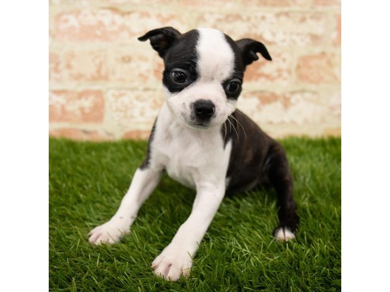 Boston Terrier-Female-Brindle / White-2790577-Petland Naperville