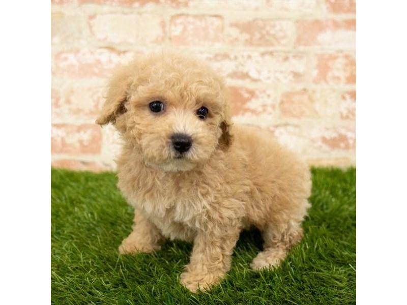 Maltipoo-DOG-Female-Apricot-2790579-Petland Naperville