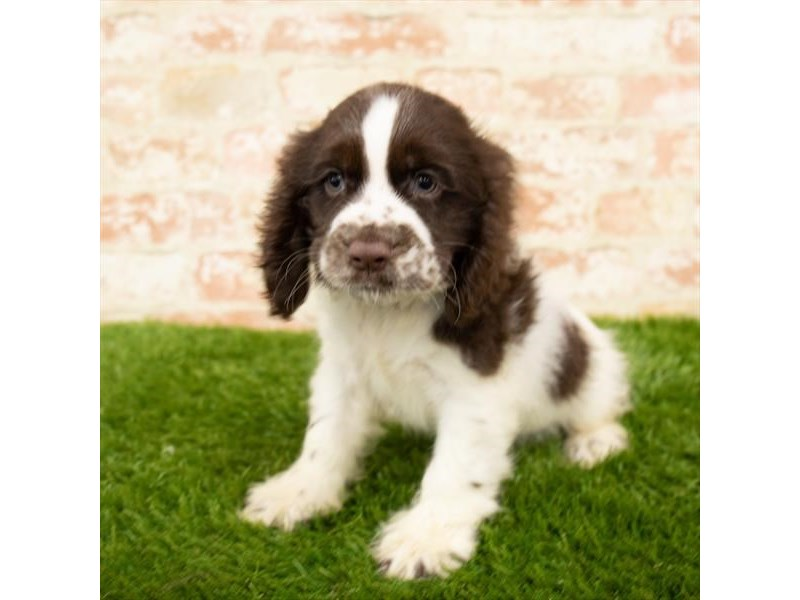 Cocker Spaniel-Male-Brown / White-2790580-Petland Naperville