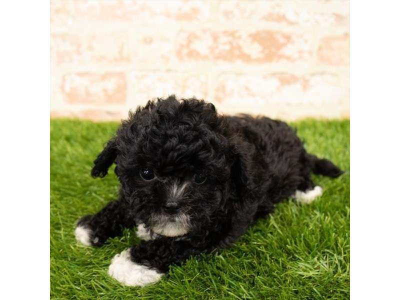 Teddy Bear-DOG-Female-Black-2790584-Petland Aurora