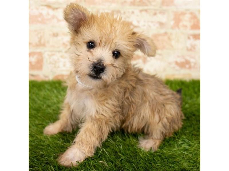 Silky Terrier/Bichon Frise-DOG-Male-Golden-2790587-Petland Naperville