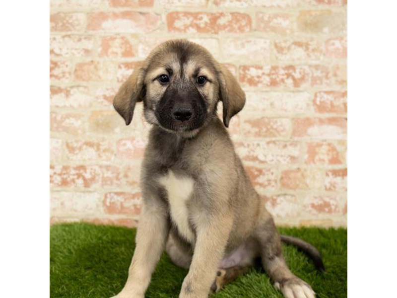 Labrador Retriever/Great Pyrenees-DOG-Male-Sable-2790648-Petland Aurora