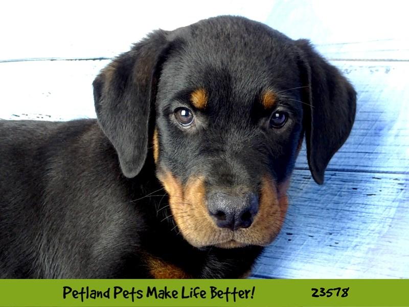 Rottweiler-Male-Black / Rust-2795660-Petland Naperville