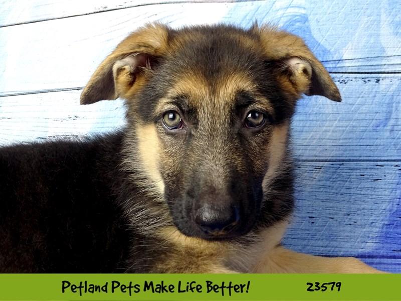 German Shepherd Dog-Female-Black / Tan-2795658-Petland Naperville
