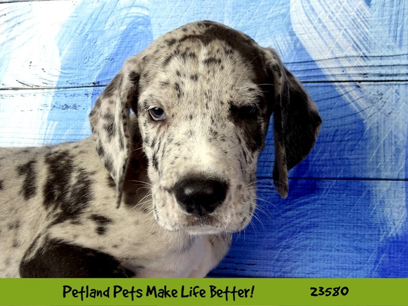 Great Dane-Male-Blue Merle-2795777-Petland Naperville