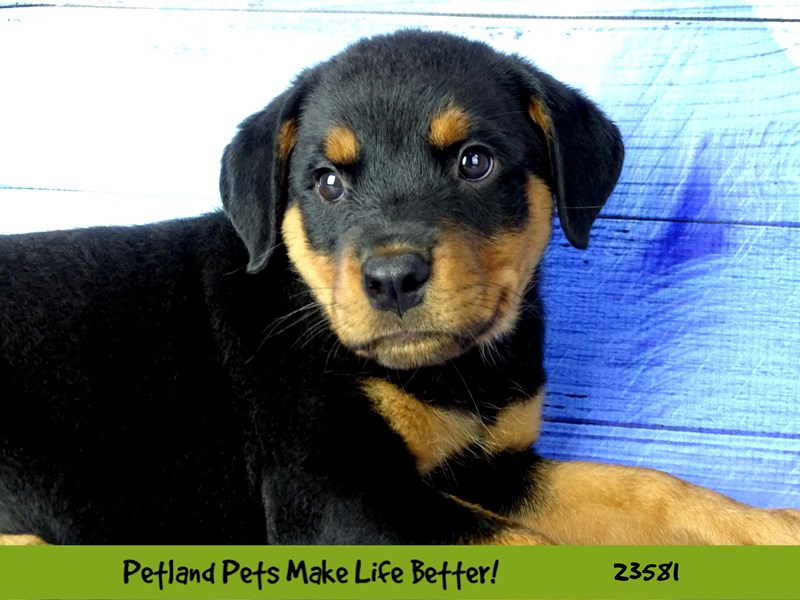 Rottweiler-Female-Black / Rust-2795775-Petland Naperville