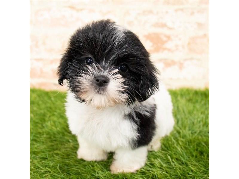 Havanese-DOG-Female-Black-2797606-Petland Naperville