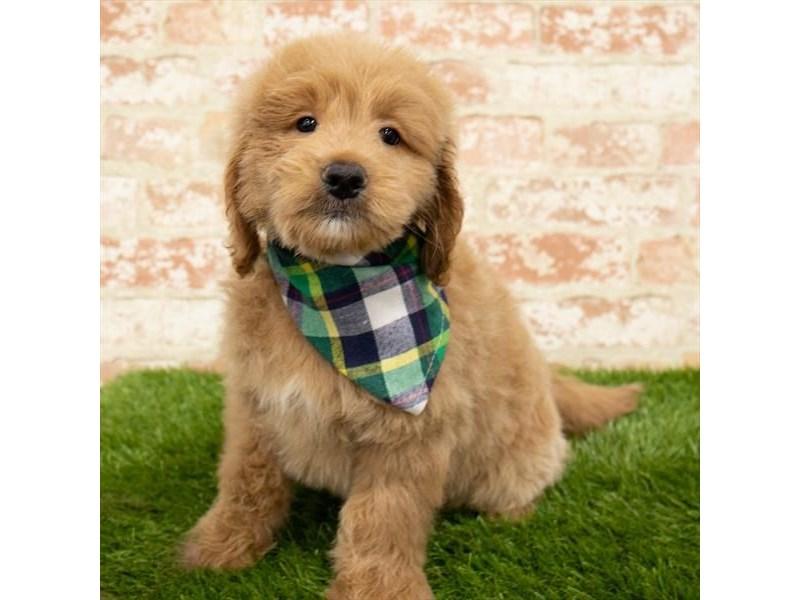 Goldendoodle Mini-DOG-Male-Golden-2797609-Petland Naperville