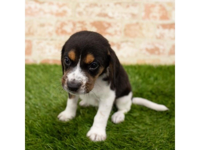 Beagle-Male-Black White / Tan-2797614-Petland Naperville