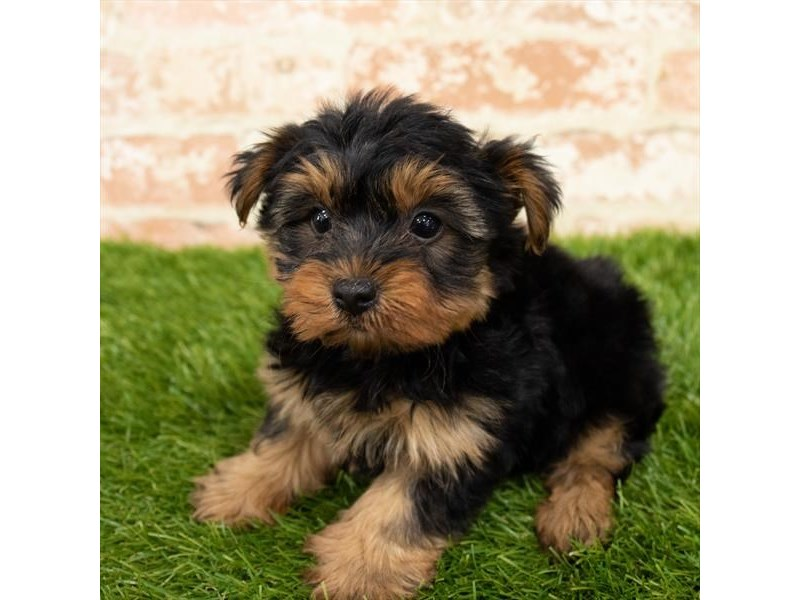 Yorkshire Terrier-Male-Black / Tan-2797624-Petland Naperville