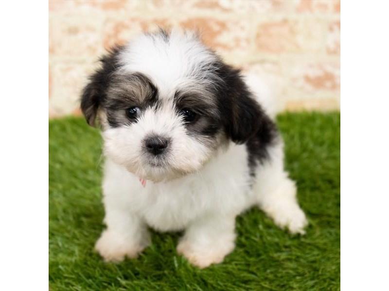 Malshi-DOG-Female-Black / White-2797625-Petland Naperville