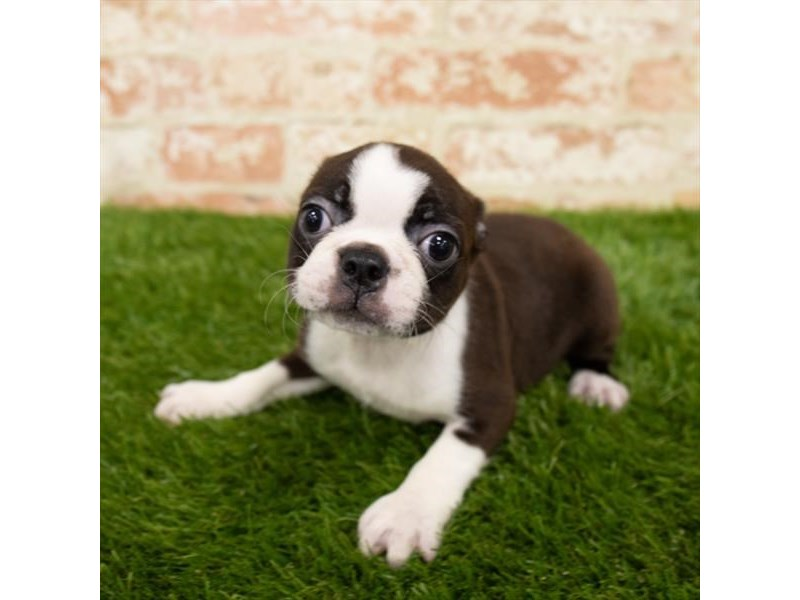 Boston Terrier-Female-Brindle / White-2797659-Petland Naperville