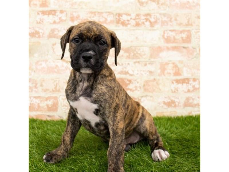 Boxer-Male-Brindle-2797694-Petland Naperville
