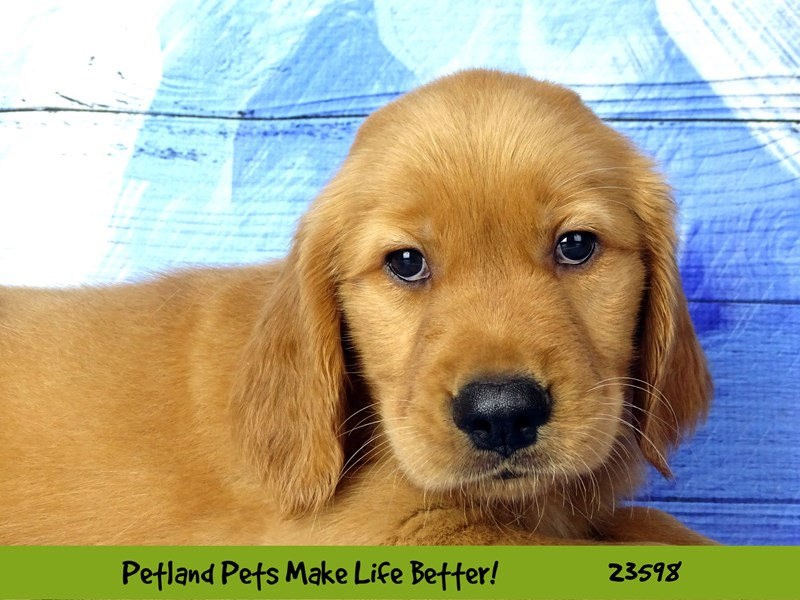 Golden Retriever-Male-Golden-2802915-Petland Naperville