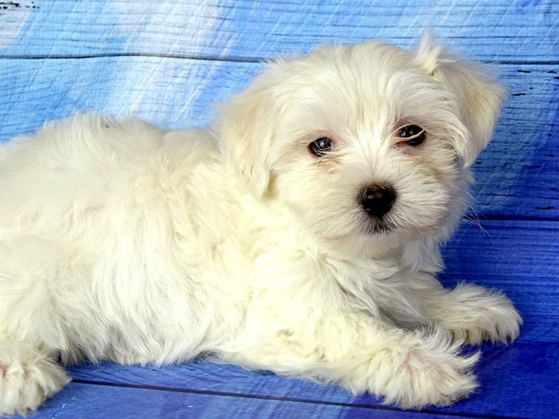 Maltese-Male-White-2802920-Petland Naperville