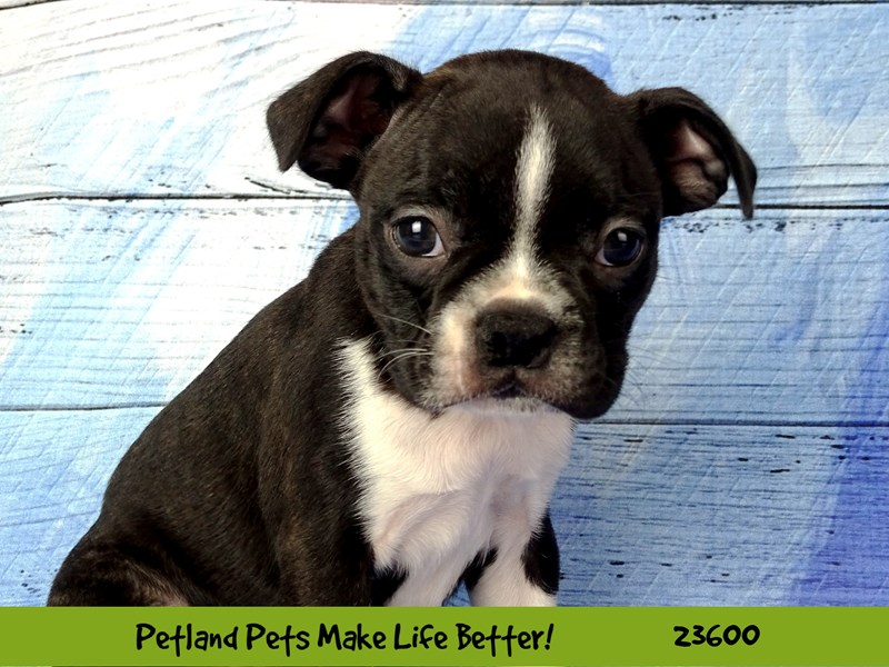 Boston Terrier-DOG-Male-Black / White-2802923-Petland Naperville