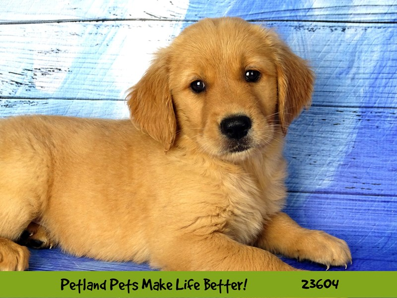 Golden Retriever-Female--2802947-Petland Naperville