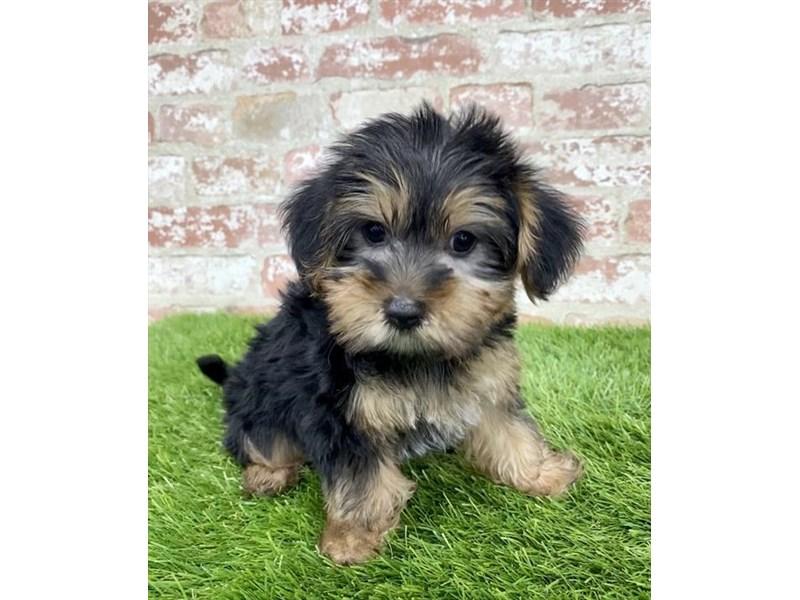 Morkie-DOG-Male-Black / Gold-2804789-Petland Aurora