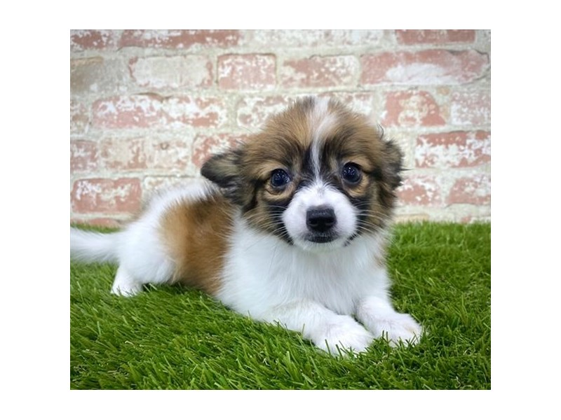 Papillon-Female-White / Sable-2804794-Petland Naperville