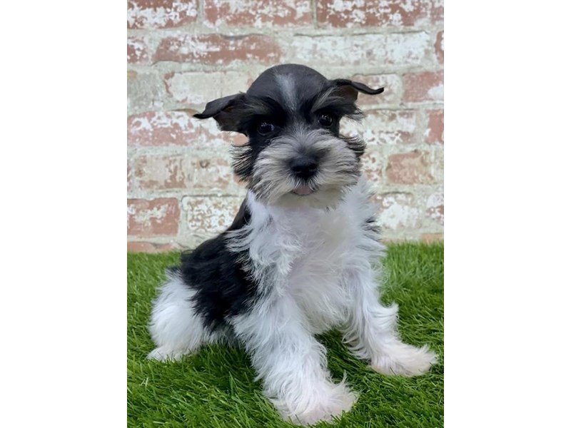 Miniature Schnauzer-Female-Black / White-2804803-Petland Naperville